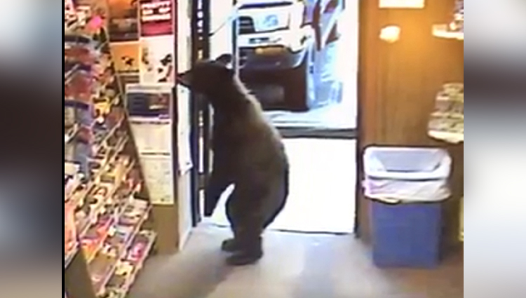 Bear walks into a liquor shop