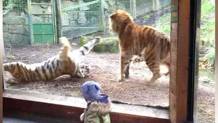 Dublin Zoo wake up call tiger fight
