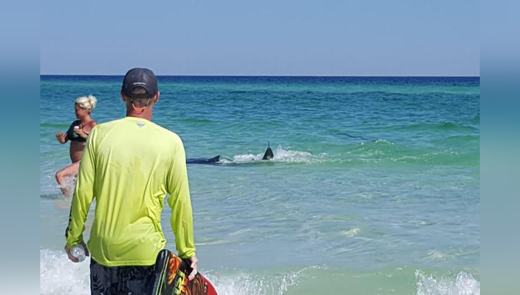fighting sharks draw a crowd in shallow water at Florida beach