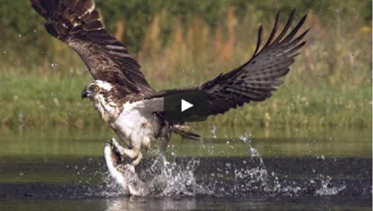 An osprey fishing in spectacular super slow motion Highlands Scotlands Wild Heart