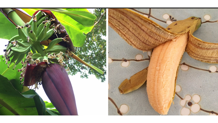 Ethylene Gas Banana Ripening