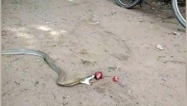 cobra eats onion