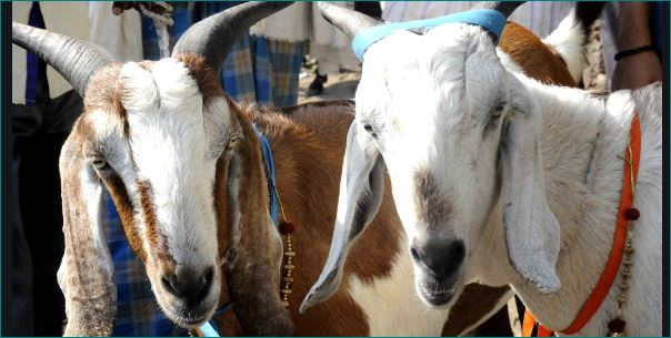 Rajasthan Dholpur Male Goat Produce Milk