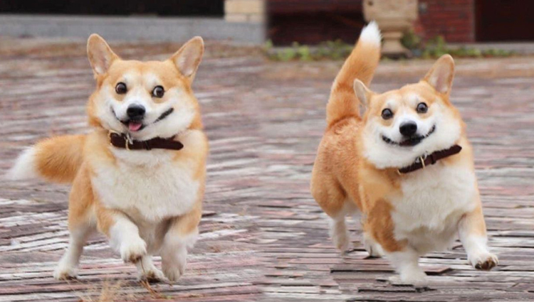 Meet Gen A Corgi From Japan Whose Facial Expressions