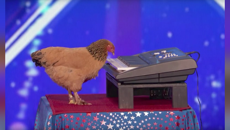 chicken plays patriotic tune on keyboard