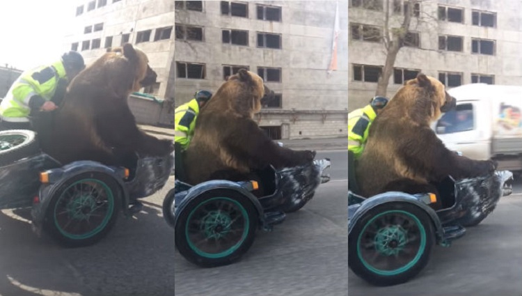 bear sits on bike in russia