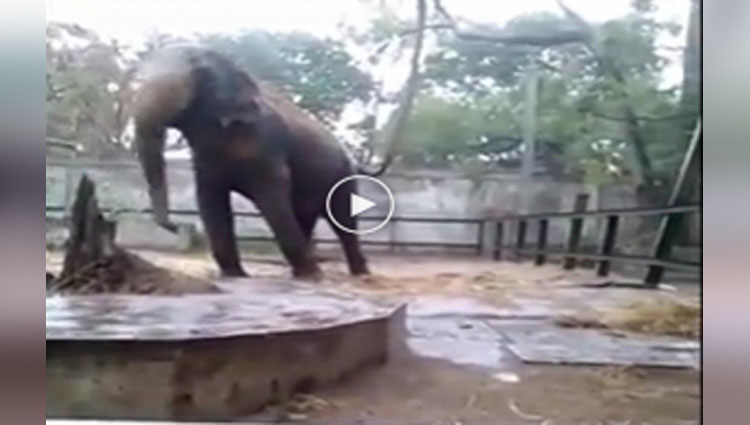 VIDEO Elephant dance in the rain