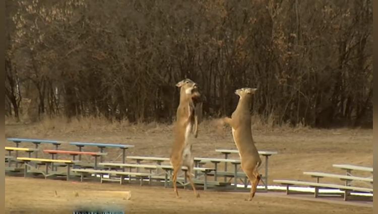 deer fighting for food