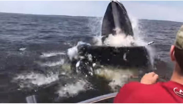 humpback whale breaches near a boat off new jersey