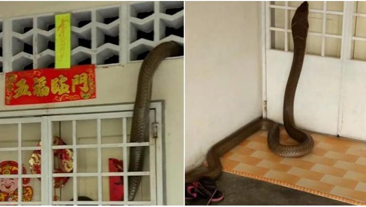 dramatic video of huge king cobra entering home