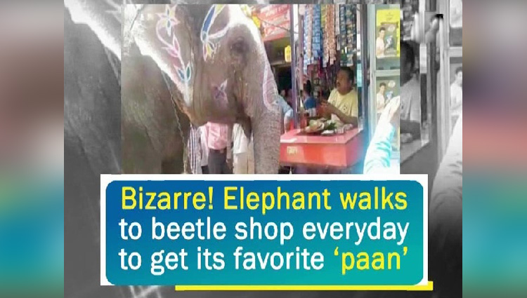 Bizarre Elephant walks to beetle shop everyday to get its favorite paan