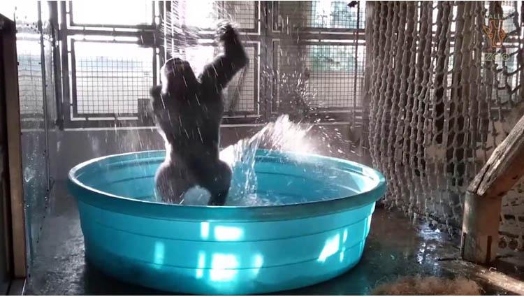 breakdancing gorilla enjoys pool behind the scenes
