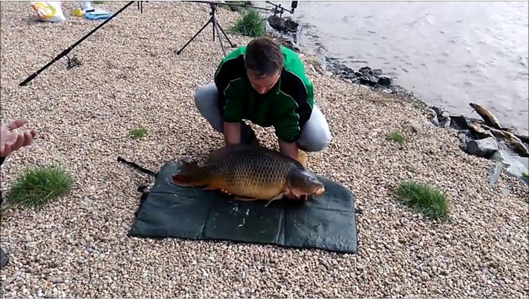 captured carp wriggles away from fishermen back into the water