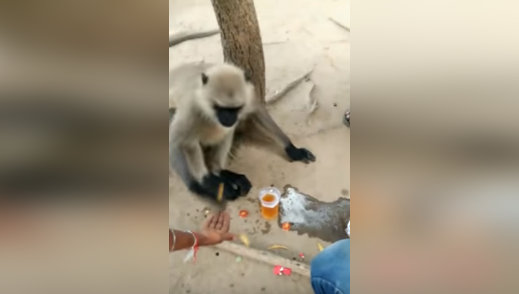 Monkey Drinks Beer