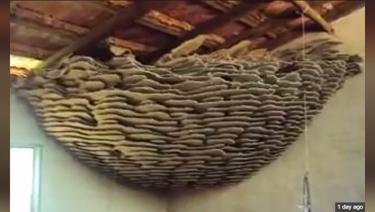 Viral And Trending Video Of Discovering Huge Wasp Nest Inside house