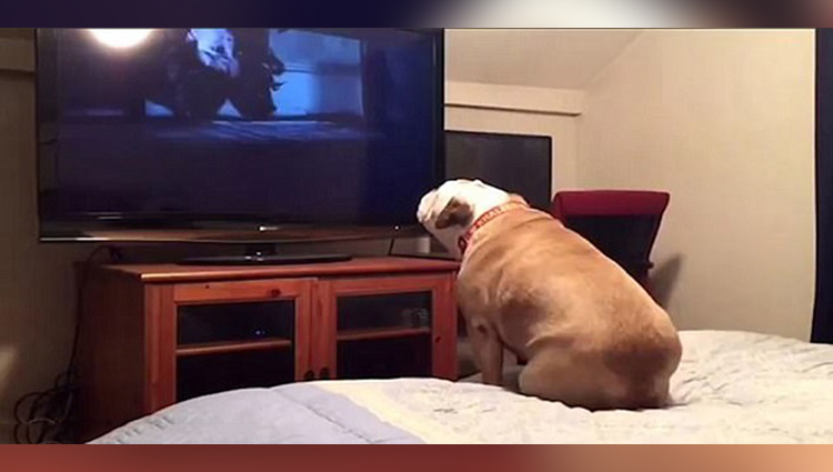 Bulldog watches a horror movie