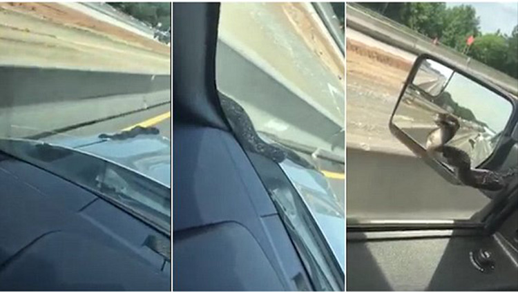 snake climbs up a mans car in georgia