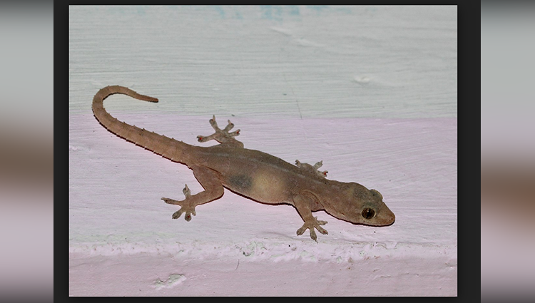 40 Lakh For Per Gecko Lizard