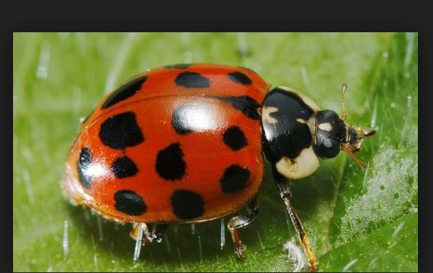 What is the Harlequin ladybird STI riddled insect is invading the UK