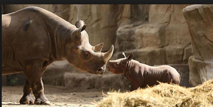 Amazing Facts About Rhinos