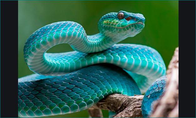 goriya people give snake as dowry