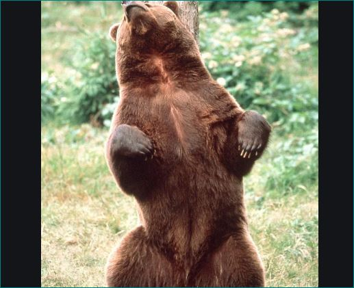 why bear rub or scratch their back with tree