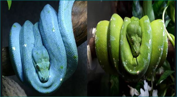 green tree python world most expensive snake