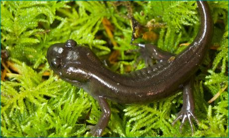 Facts About Salamanders