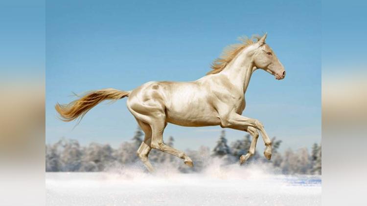 most beautiful horse in the world akhal teke