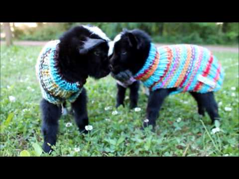 baby goats pictures and videos