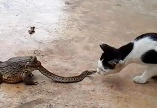 cat and snake fight video