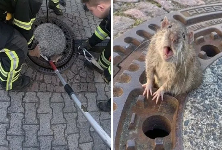 rat stuck in chamber door rat in manhole firefighters germany