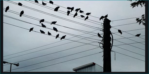 Why Do Birds Sit on Electrical Wires