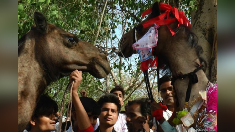 camels special marriage