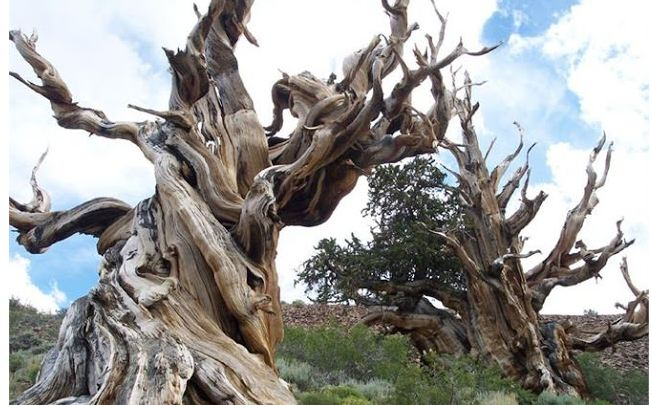 world old tree Methuselah