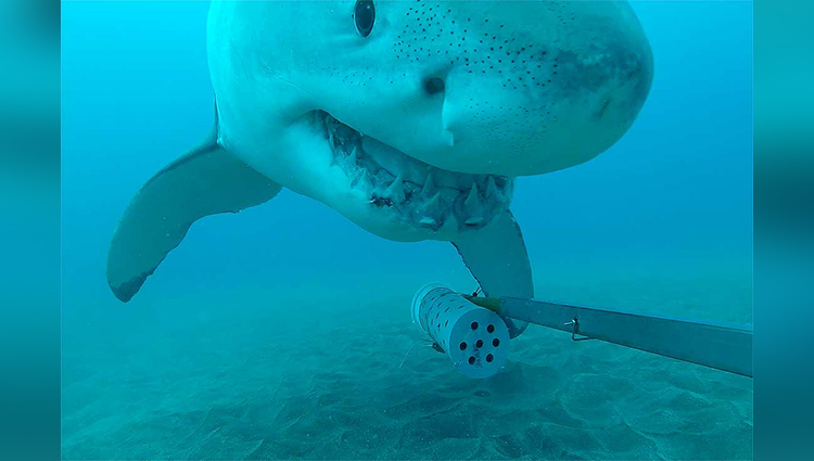 curious great white shark plays with camera | Massey University