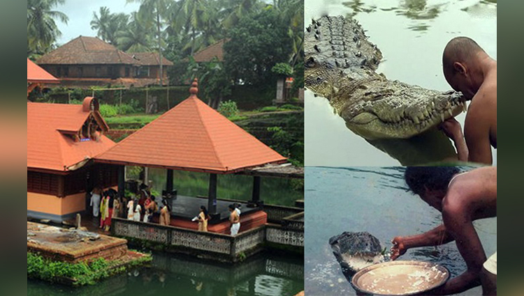 vegetarian crocodile ananthapura kerala