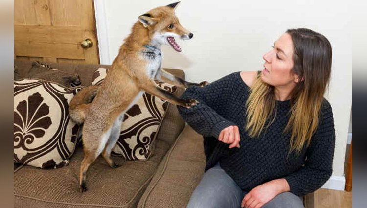 this mum adopts a fox as a family pet