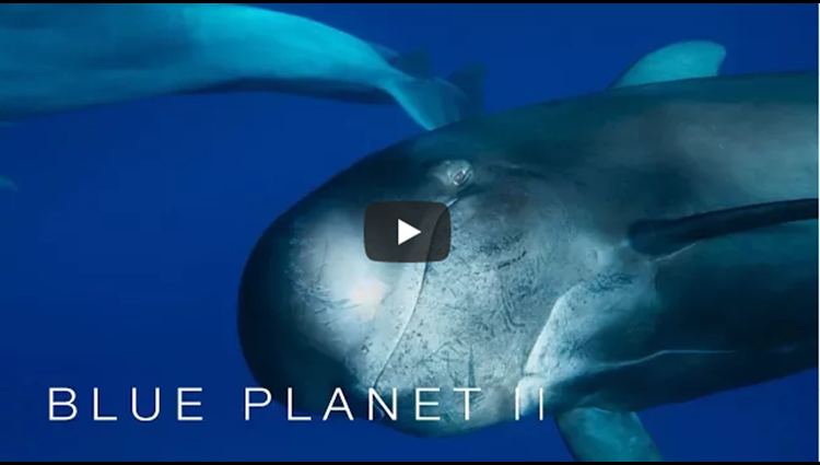 Mother pilot whale grieves her dead calf The Blue Planet II