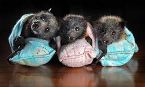 Tolga Bat Hospital Bat Hospital In Australia