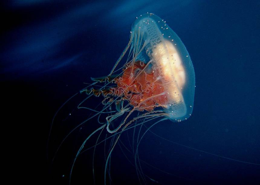 Jellyfish fact hindi things you know about jellyfish