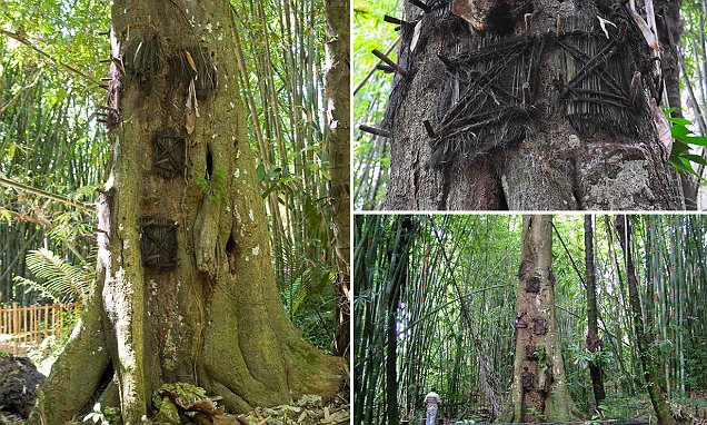 The tree graves of Indonesia where dead babies