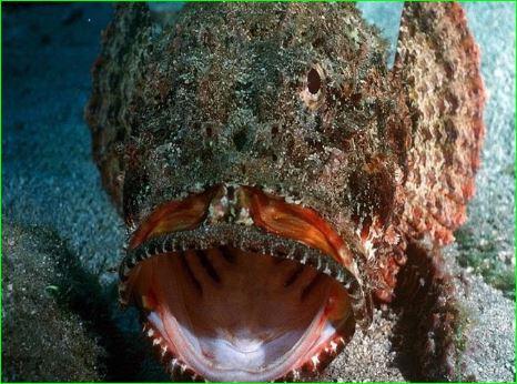 Stone Fish Poisonous Fish Whose Even A Drop Of Poison