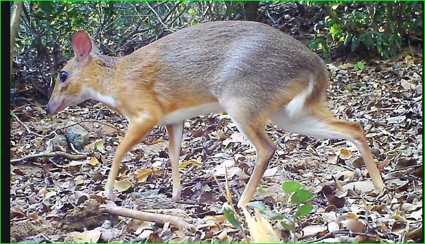 Silver Backed Chevrotain Has Been Found In In The Forests