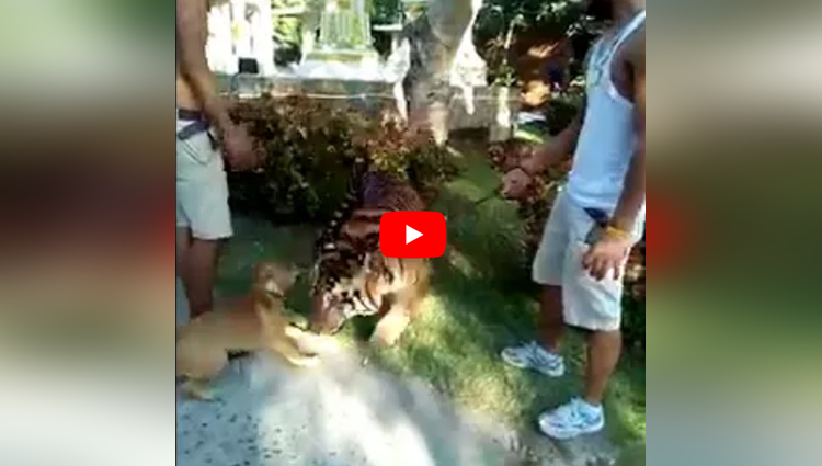 This Dog Is Barking At The Tiger