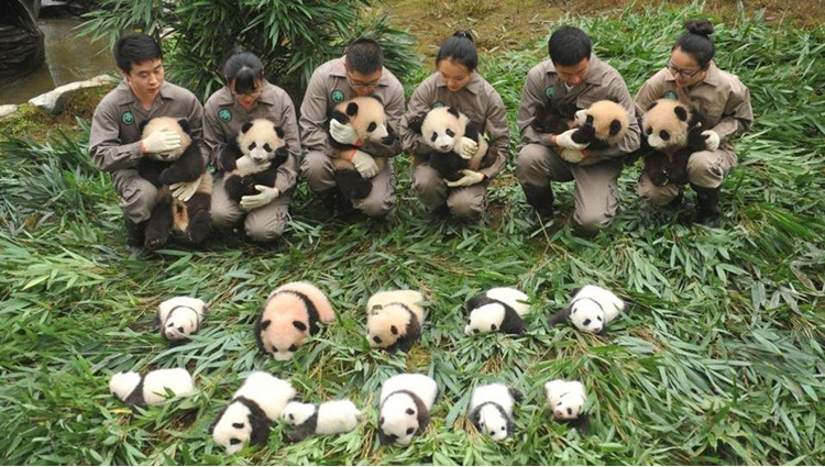 In Pics These baby pandas making their debut will brighten your day