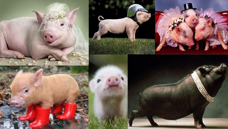 funny and cute pigs photos