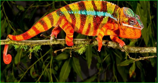 Why And How Chameleons Change Their Color