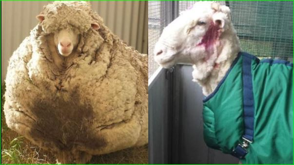 Chris the sheep known for world record amount of wool die