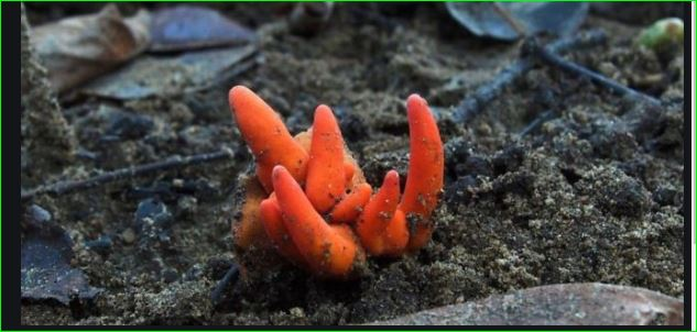 Poison fire coral Deadly Asian fungus detected in Australia